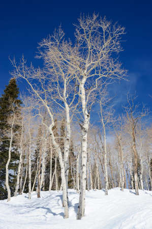 Aspen trees in the snow on the wintry mountainside with blue skies to contrast with the white bark. 免版税图像
