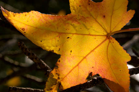 A golden autumn leaf is backlit by the sun to show closeup details and macro elements. 免版税图像