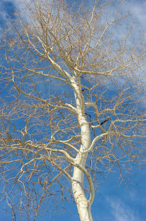 A single Aspen Tree stands against the stark blue skies in winter on the mountain covered in snow.