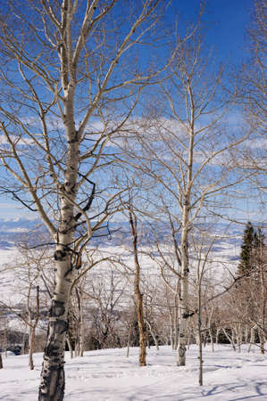 A small grove of Aspen trees in front of a spectacular view down the snow covered mountains of Steamboat, Colorado.