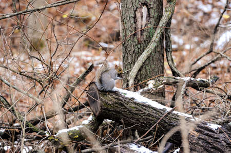 A grey squirrel has come out of his nest from hibernation to look for food as the snow begins to melt. 免版税图像