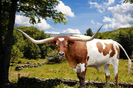 A Texas Longhorn bull stands majestically in front of a meadow and pasture area to graze in. 免版税图像