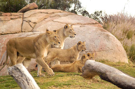 Female Lioness group with cubs watching other wildlife