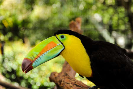 A colorful rainbow toucan sits on a branch in the rainforest of Costa Rica to pose for an animal portrait.