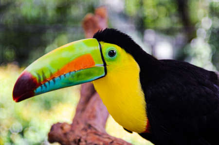 Rainbow-billed toucan in the jungle of Costa Rica.
