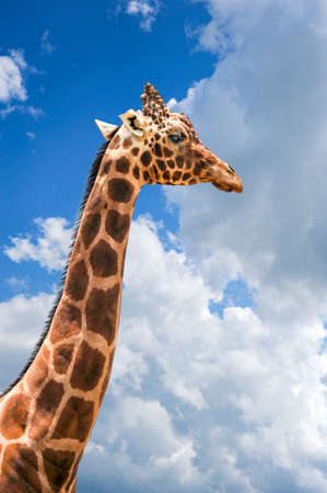 A very tall giraffe stands with his head in the clouds and patches of blue sky. 免版税图像