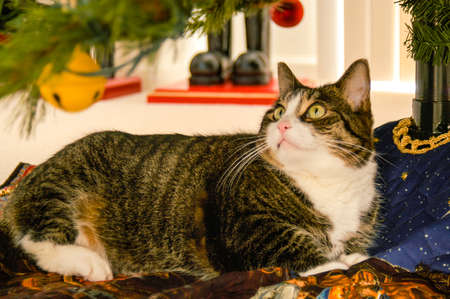 A cute kitty is underneath the Christmas Tree and eyeing the low hanging ornaments in celebration of the holidays.