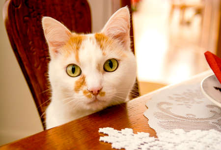 A cute kitty cat at the dinner table looking for food.