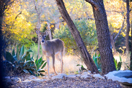 A young white-tailed buck moves from the clearing of the forest closer to the camera for his animal portrait.