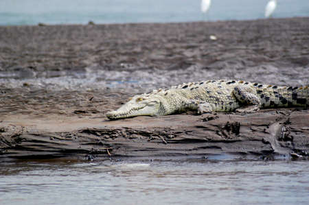 Crocodile sitting on the mud banks of a river in Costa Rica
