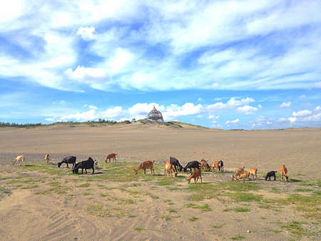 infamous: goats feeding on grass on the infamous sand dunes of paoay ilocos norte philippines