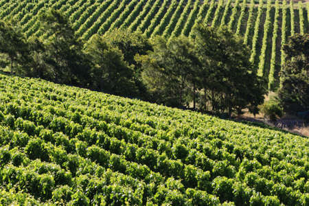 Vineyard - landscape rows of beautiful vines photo
