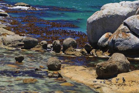 jackass: Group of Jackass penguins and boulders