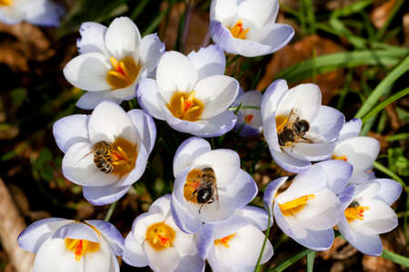 Bees collecting pollen from Crocus in spring photo