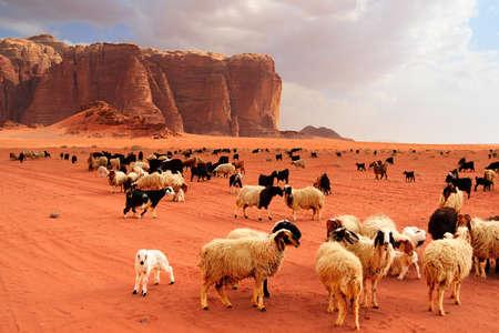 laurence: Herd of Bedouin sheep and goats in the Wadi Rum desert Stock Photo