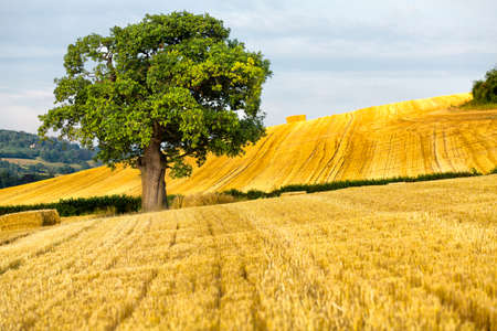 A single oak tree stands out in a recently harvested field in the English countryside photo
