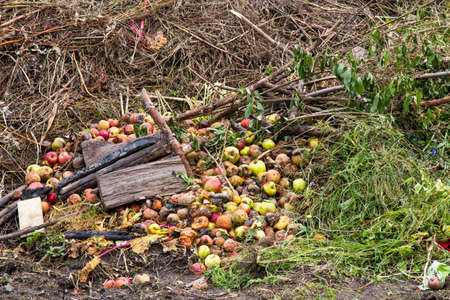 overripe: Compost heap with grass and apples on an allotment site