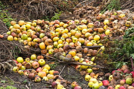 recycling plant: Rotten green and yellow apples with other waste on a compost heap on an allotment site