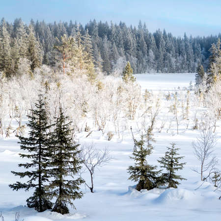 Snow covered fir trees in the forest North of Oslo - square format