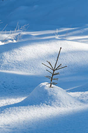 Seedling fir tree in the snow in the forest North of Oslo