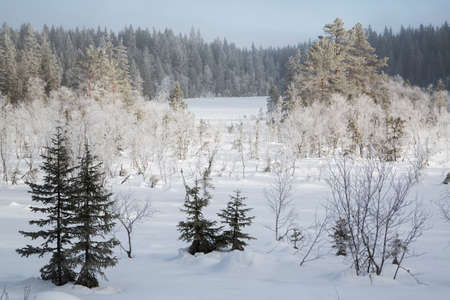 Snow covered fir trees in the forest North of Oslo
