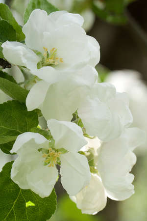 beautiful flowers of apple trees on a sunny day