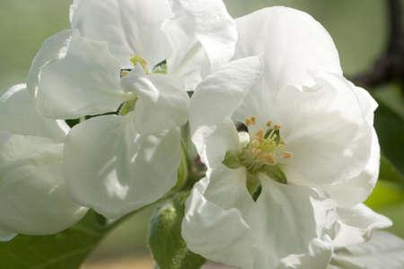few apple-tree flowers on a bright sunny day, macro