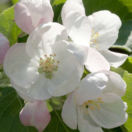 white-pink flowers and buds of apple-tree in bright sunny day, macro