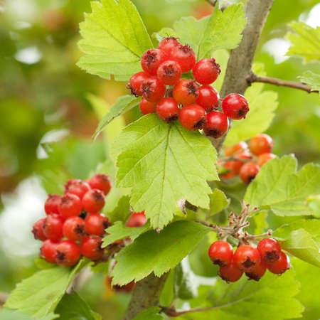 Orange hawthorn berries on a branch with green leaves Zdjęcie Seryjne