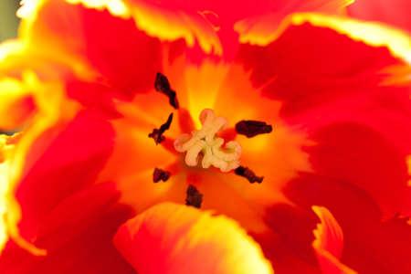 Bright red tulip whis yellow border, background, macro Zdjęcie Seryjne
