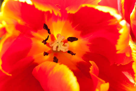 Open bright red tulip, background, macro Stock Photo