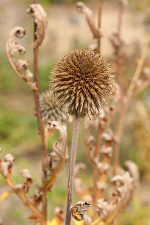 a beautiful dry flower of a round forms, used for decorating parks and gardens