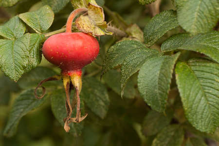 red hips of a dogrose on a branch with green leaves Zdjęcie Seryjne