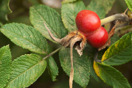 ripe unusual red rose hips on a background of green leaves