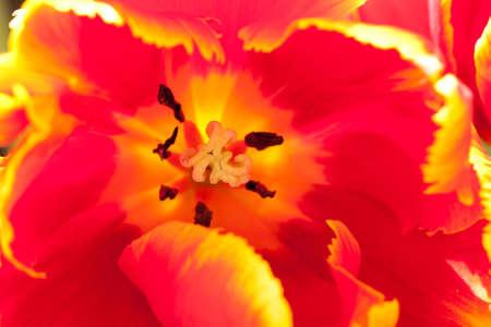 Open bright red tulip whis yellow border, background, macro Zdjęcie Seryjne