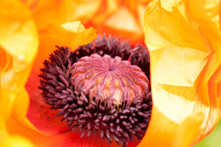 beautiful unusual bright poppy flower