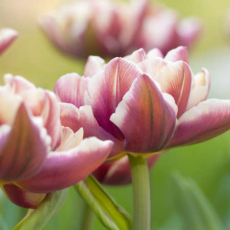 fluffy beautiful burgundy tulips similar to a peony blossom in a summer field or in a park similar to a peony
