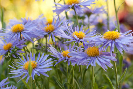 beautiful flowers aster amellus with fluffy blue petals blooming in a summer park or in the garden