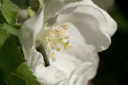 white apple flower in a bright sunny garden