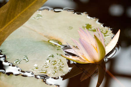 beautiful tender lily blooms on the surface of the pond among the leaves