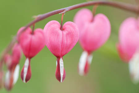 beautiful bright pink flower dicentra blooming in the summer garden or in the park
