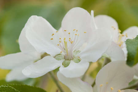 beautiful white tender flowers of apple tree on a branch