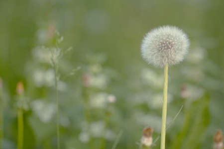 funny faded dandelion flower growing in a summer field or on a meadow