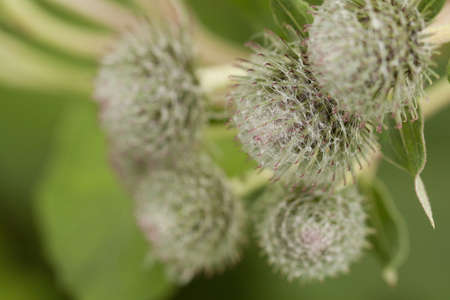 fun beautiful buds of burdock growing in a summer field or in the forest 写真素材
