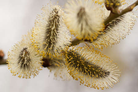 delicate fluffy willow flowers blooming first in the spring forest or park