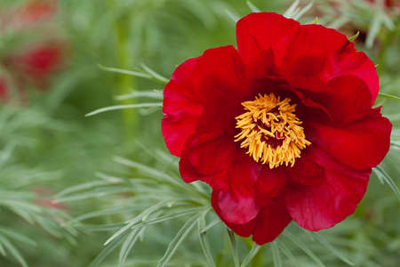 wonderful and beautiful peony flower with delicate red petals blooming in spring field