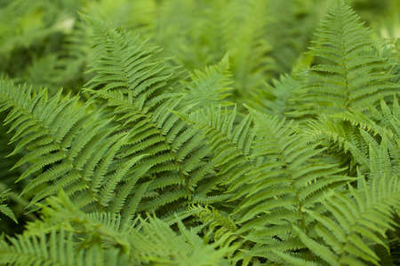 beautiful tender fern growing in the summer forest