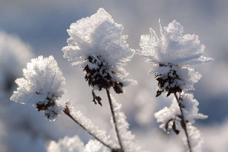 unusual dry flowers in beautiful pieces of ice glittering in the frosty winter sun