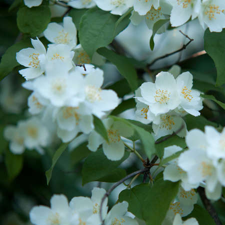 wonderful jasmine bush with green branches and lush blooming fragrant flowers