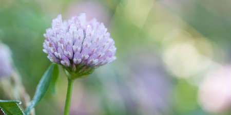 beautiful delicate clover flower with dew drops on the petals, bokeh and glare in the background, background